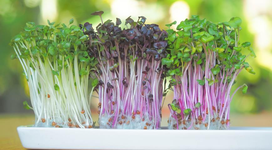Как выращивать микрозелень